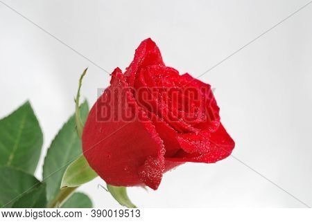 Very Beautiful Delicate Red Rose Covered With Water Droplets