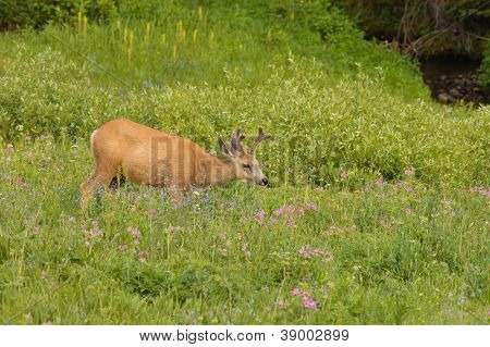 young male Mule deer (Odocoilus hemionus) in Yellowstone national park