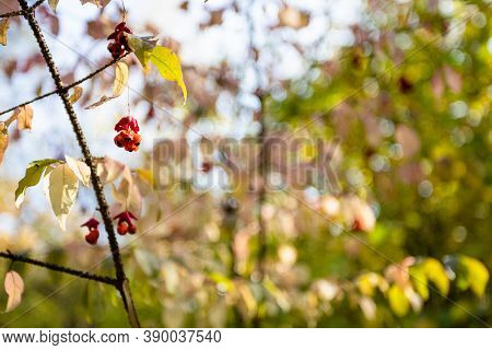 Twig With Euonymus Berries Close Up And Blurred Trees On Background In City Park On Sunny Autumn Day
