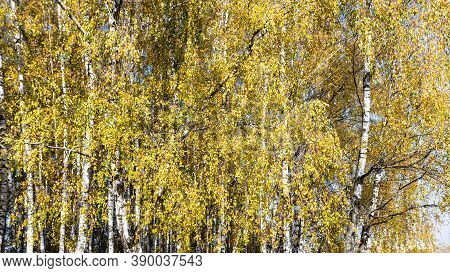 Yellow Foliage Of Birch Grove In City Park On Sunny Autumn Day