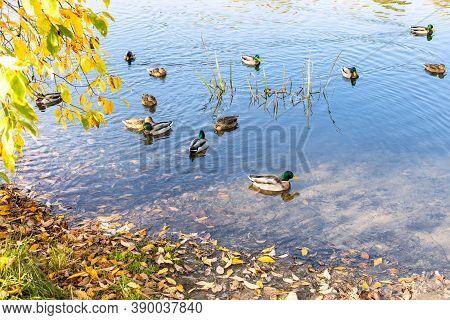 Ducks Swim Near Coast Of Pond In City Park On Sunny Autumn Day