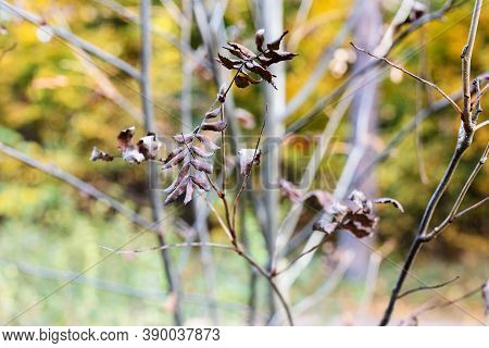 Dried Leaves On Twig Of Rowan Tree Close Up In City Park On Autumn Day (focus On Leaves On Foregroun