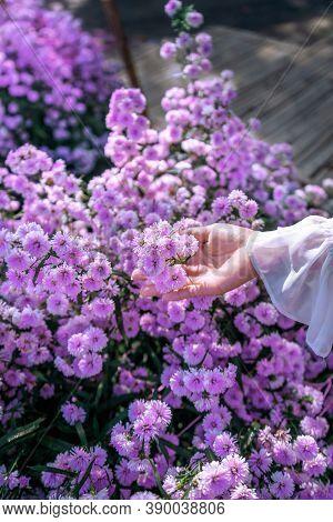 Women's Hands Touch Purple Flowers In The Fields.