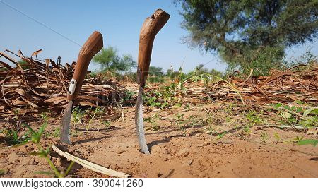 Reaping Tool Or Sickle To Harvest Crop By Hands In An Indian Field
