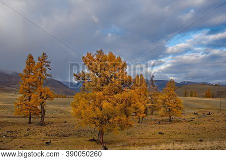 Russia. South Of Western Siberia, Altai Mountains. Lone Relict Larch Trees In The Desert Kurai Stepp