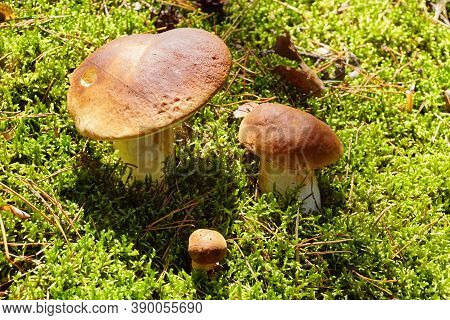 Boletus Edulis Commonly Known As: Cep, Penny Bun, Porcino Or Porcini And Imleria Badia, Commonly Kno