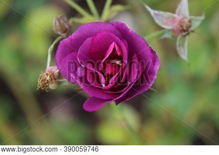 Purple Rose Type Rhapsody In Blue In The Rosarium In Boskoop In The Netherlands