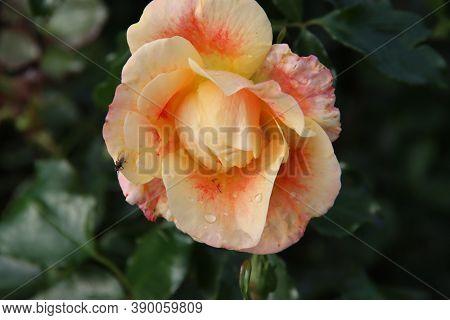 Orange Rose Type Sirius In The Rosarium In Boskoop In The Netherlands