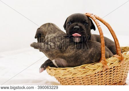Staffordshire Terrier One-month Puppies. Young Puppy Dog Sitting In Basket With Tongue Sticking Out.