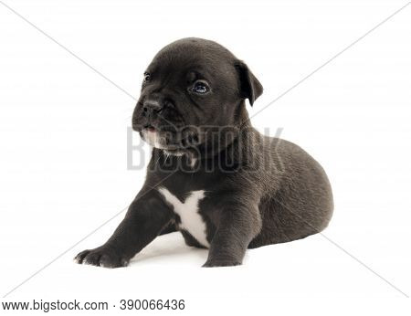 Isolated Staffordshire Terrier One-month Puppy Dog. Young Puppy Dog Sitting. Puppy Dog Looking With