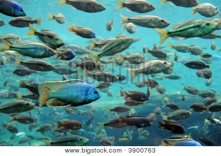 Bass and tilapia swimming underwater in large numbers poster