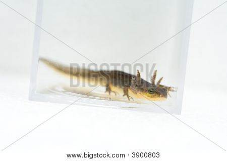 California Newt, Taricha Torosa, In Larval Stage