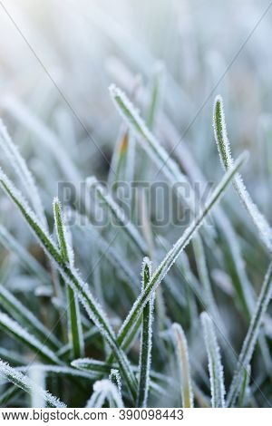Grass In The Frost.rimes On Plants In The Garden. Winter Natural Plant Background In Cold Blue Tones