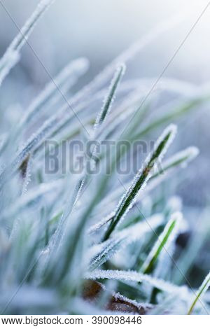 Grass In The Frost.rimes On Plants In The Garden. Winter Natural Plant Background In Cold Tones. Nov