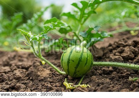 Little Green Watermelon. Young Small Watermelon In The Garden. Watermelon In The Farm On Field.