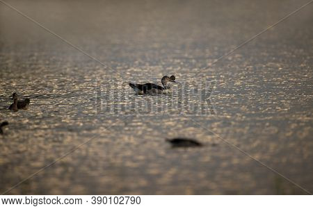 Beautiful Adult Male Knob-billed Duck, Or African Comb Duck, Low Angle View, Side Shot, In Silhouett