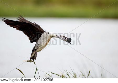 Beautiful Adult Male Knob-billed Duck, Or African Comb Duck, Low Angle View, Side Shot, In The Morni