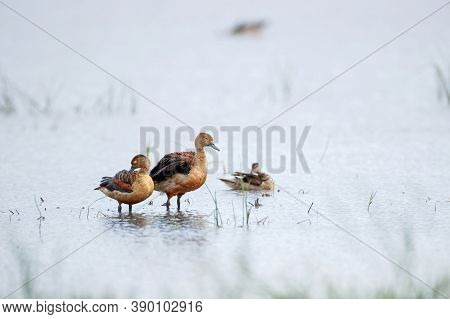 A Flock Of Lesser Or Indian Whistling Duck, Low Angle View, Side Shot, Walking And Foraging In The M