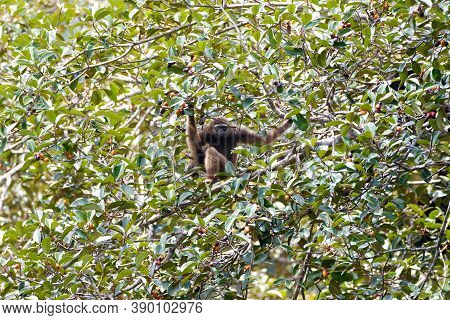 Agile Gibbon Or Black-handed Gibbon, High Angle View, Side Shot, Sitting On The Branch Of The Fruit