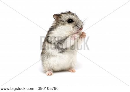 Small Domestic Hamster Isolated On White Background. Gray Syrian Hamster Stands On His Hind Legs Iso