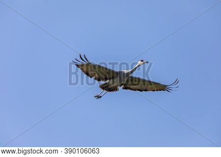 Migration To South. Sandhill Crane In Flight