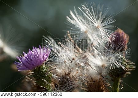 Milk Thistle Or Silib Marianum Plant. Purple Thistle Wildflower, Flowering Spine On A Sunny Day. The