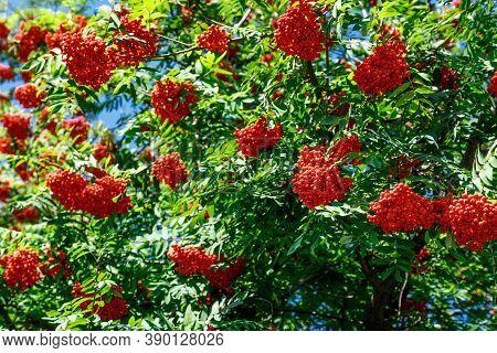 Rowan Branches With Ripe Fruits. Red Rowan Berries On The Branches Of A Rowan Tree, Ripe Rowan Berri