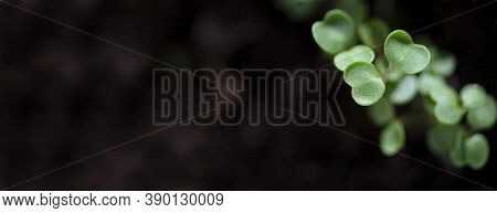 Sprout With Copy Space. Microgreen, Arugula, Rucola. Soil Banner, Free Space For Text.
