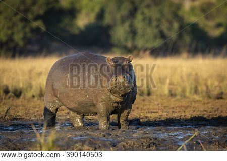 Massive Hippo Standing In Mud Looking Alert In Golden Morning Light With Green Trees In The Backgrou