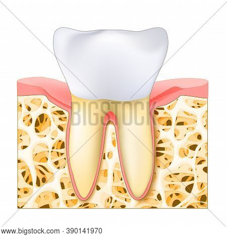 Realistic Human's Molar Or Premolar Tooth. Healthy White Tooth, Gums And Bone. Editable Vector Illus