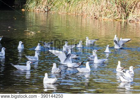 Black-headed Gulls Landed On A Pond In Brittany