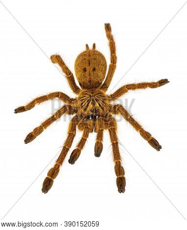 Top View Of Young Orange Baboon Tatantula Spider Aka Pterinochilus Murinus Rcf. Isolated On White Ba