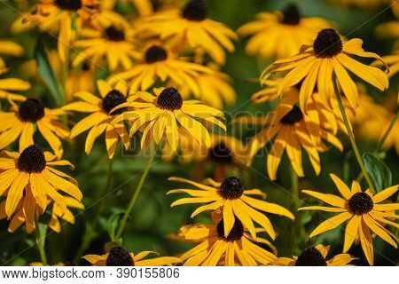 Rudbeckia Hirta, Commonly Called Black-eyed Susan, Is A North American Flowering Plant In The Sunflo