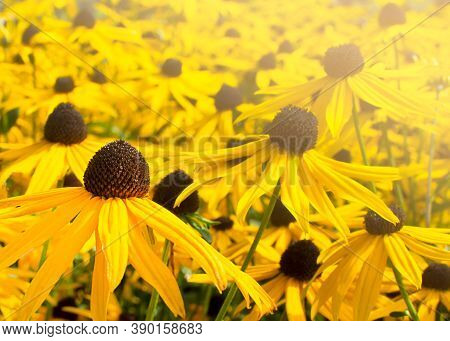 Rudbeckia Hirta. Yellow Coneflowers. Yellow Floral Background. Macro Yellow Echinacea. Yellow Floral