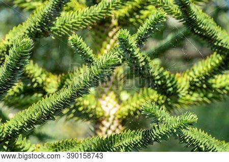 Araucaria Araucana, Commonly Called The Monkey Puzzle Tree, Monkey Tail Tree, Pinonero, Pewen Or Chi
