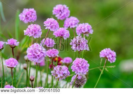 Close Up Of Small Vivid Pink Flowers Of Armeria Maritima Plant, Commonly Known As Thrift, Sea Thrift