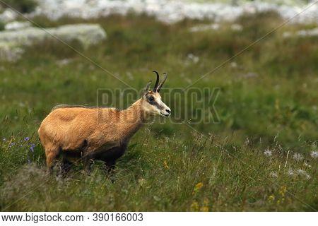 The Tatra Chamois (rupicapra Rupicapra Tatrica) Standing On A Mountain Meadow