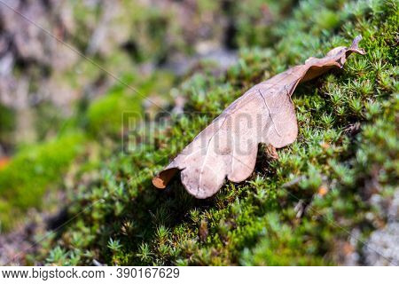 A Dry, Fallen, Oak Leaf Lies On A Moss Rug Photographed In Natural Light