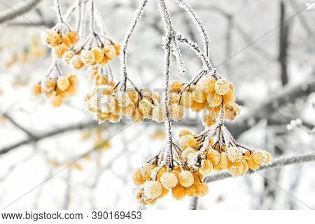 Winter Frozen Viburnum Under Snow. Viburnum In The Snow. First Snow. Beautiful Winter. Yellow