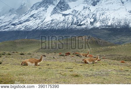 Guanacos Resting At Torres Del Paine National Park, Chile.
