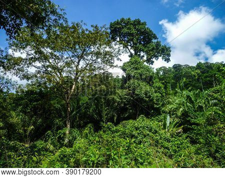 The Impassable Dense Jungle Of Thailand Against The Background Of A Blue, Summer Sky.