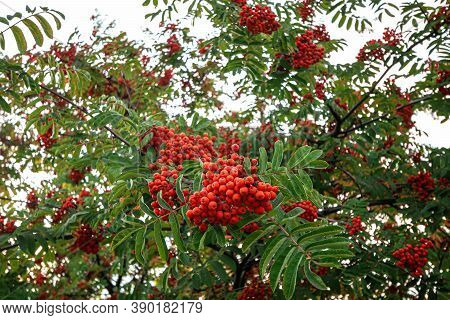 Ripe Red-orange Rowan Berries Close-up Growing In Clusters On The Branches Of A Rowan Tree