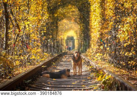 Two Beautiful Dogs On The Railroad In Tunnel Of Trees At Sunset In Autumn. Landscape With Dogs, Rail