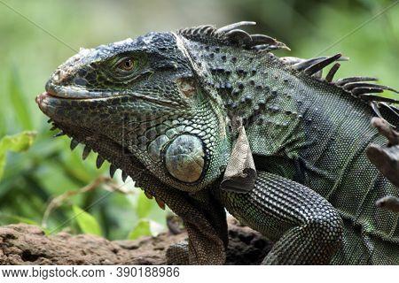 Green Iguana Lizard Head Closeup. Iguana Portrait.