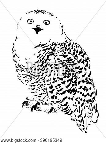 Polar Owl Sketch, Realistic Vector Illustration Engraving Style Hand Drawn Isolate On White Backgrou
