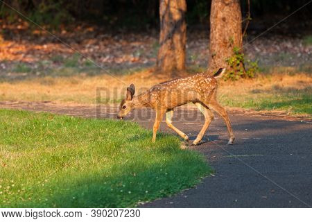 A Baby Deer With White Spots On Its Back And Sides Walks Into A Grassy Area In The Glowing Afternoon