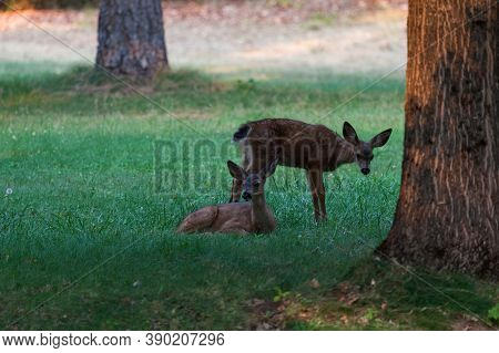 A Baby Deer Lays In The Green Grass As Another Baby Deer Stands Behind It In The Late Afternoon At J