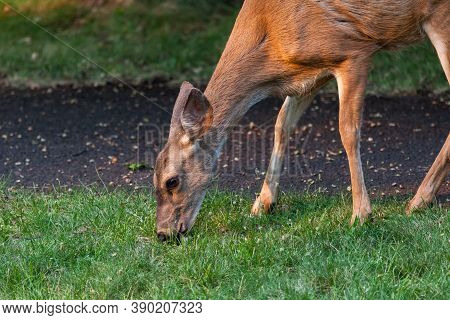 A Female Deer Eats Green Grass In The Late Afternoon Sunshine Next To A Walking Path At Joseph Stewa