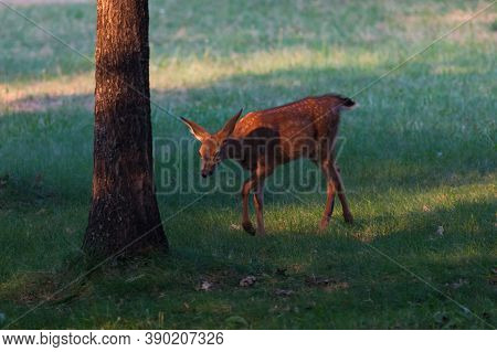 A Small Baby Deer Walks In Green Grass Next To A Tree In The Glowing Afternoon Sunshine At Joseph St