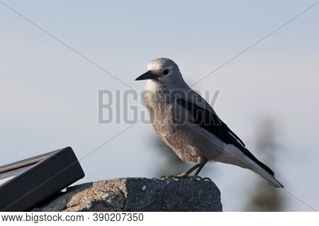 A Grey And Black Clark's Nut Cracker Bird Sits On A Rock Near A Park Sign At Crater Lake National Pa